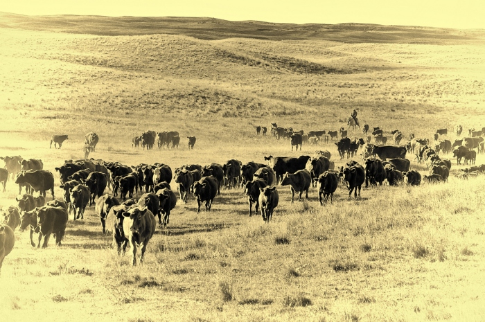 Larger cattle drive out in the sand hills
