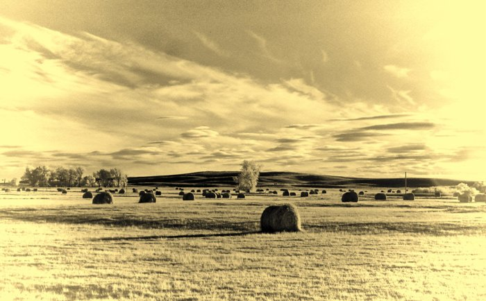 Bales of hay soon to be picked up