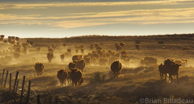 Taken during a cattle drive in the Sandhills ranch lands outside of Bassett, Nebraska