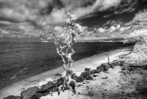 Gnarly Tree (Oahu)
