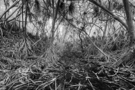 Jungle Trees (Big-Island)