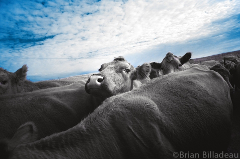 Infrared image taken during a cattle drive in the Sandhills ranch lands outside of Bassett, Nebraska