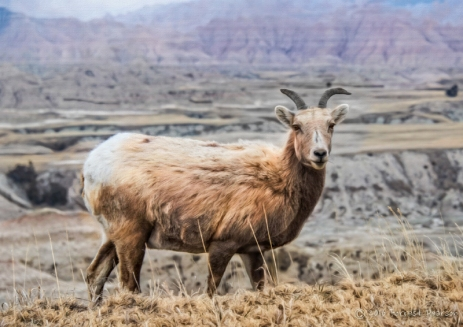 ForrestPearson_Big Horn Sheep