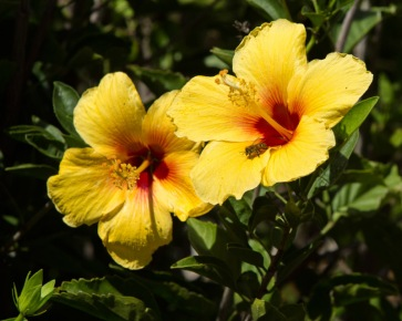 Bee on Hawaiian Yellow Hibiscus