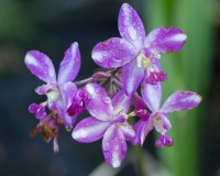 Purple Epidendrum Orchid