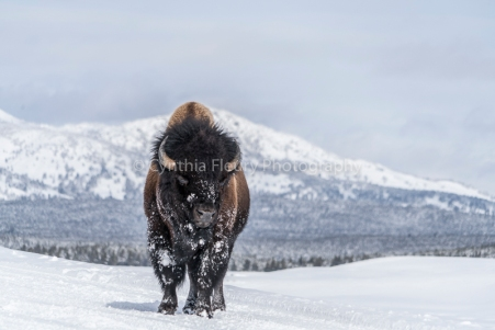 Bison Closer in Hayden Valley Yellowstone