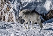Wolf Yellowstone